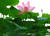 蓮の花になったドリュオぺー