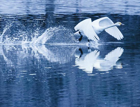 白鳥の羽ばたき