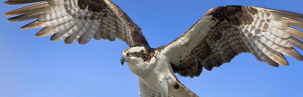 鷹になったダイダリオン