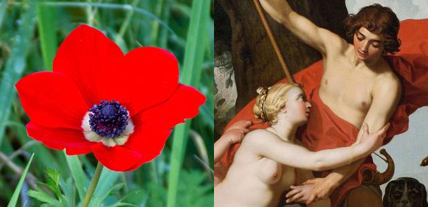 アネモネの花になったアドニス