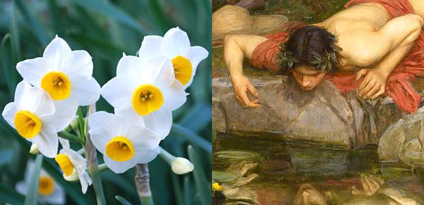 スイセンの花になったナルキッソス